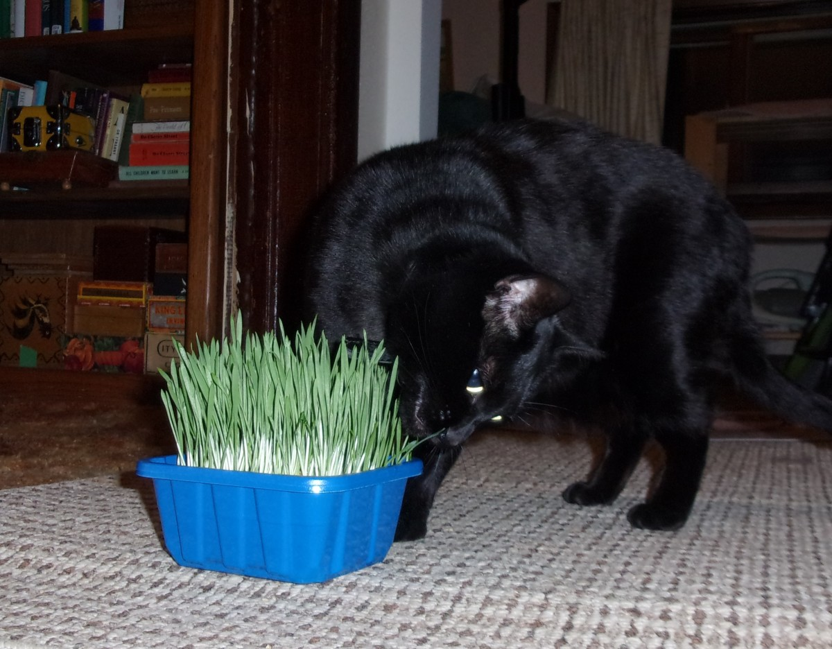 Fresh wheatgrass keeps Lucy out of my potted plants!