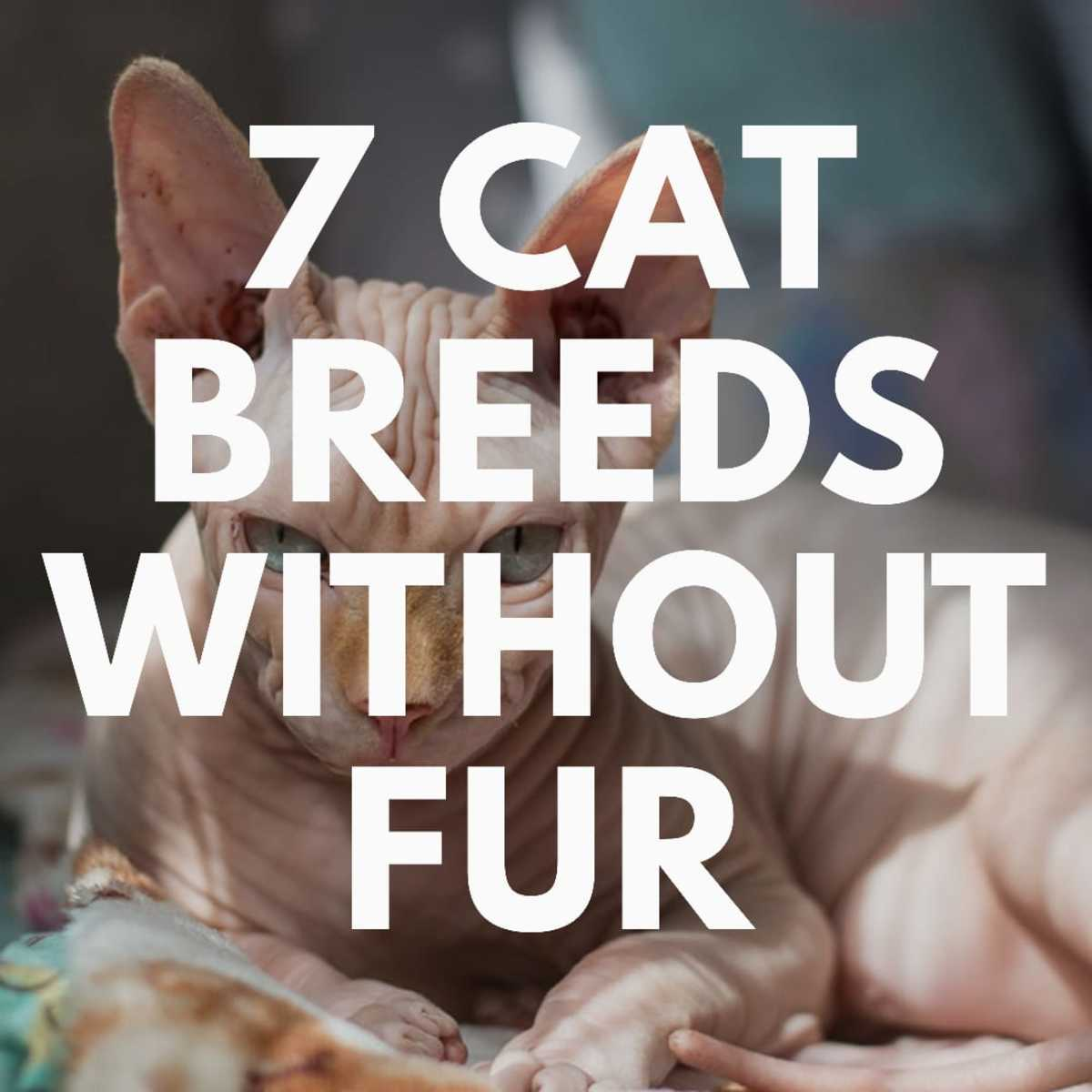 7 Cat Breeds Without Fur