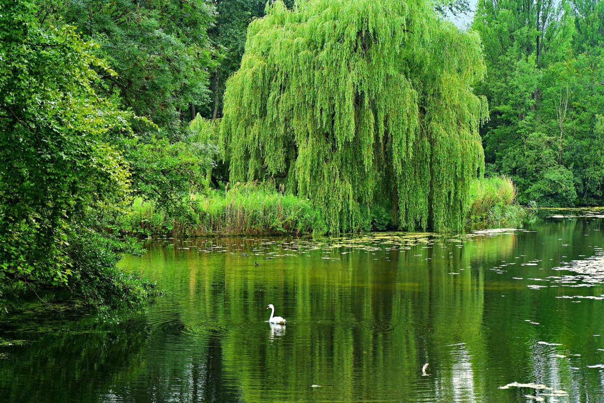 A lovely weeping willow beside a pond