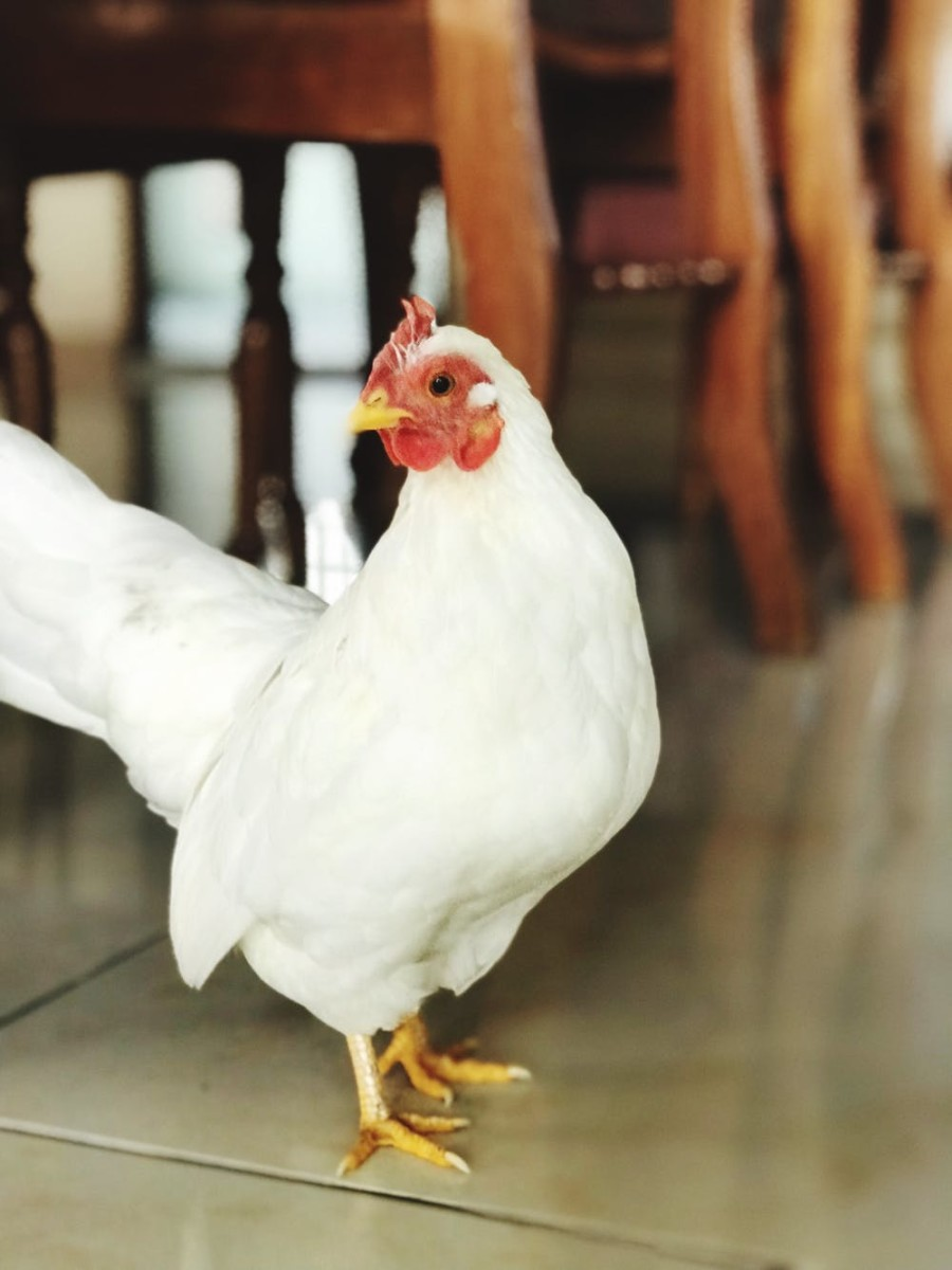 Among indoor chicken owners, the bantam breeds are largely preferred due to their small size and friendly nature.