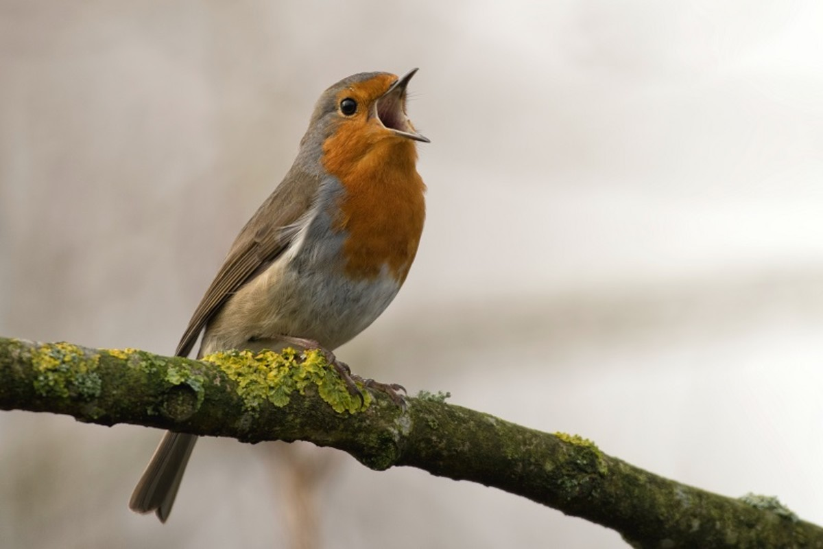Listen to the Dawn Chorus: Why Birds Sing in the Morning