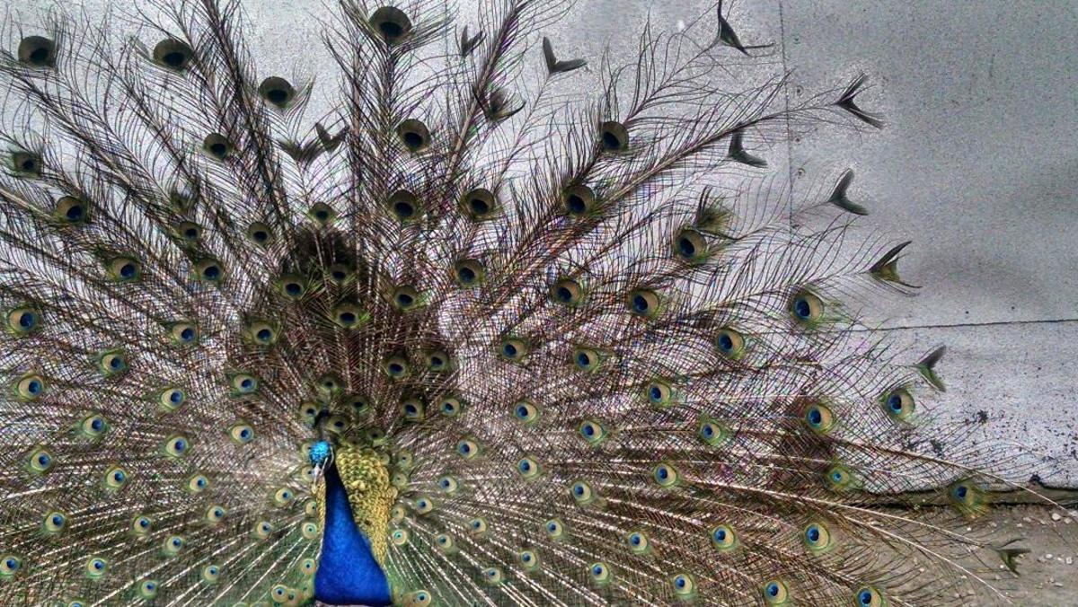 Magnificent Peacocks: The Story of Pete
