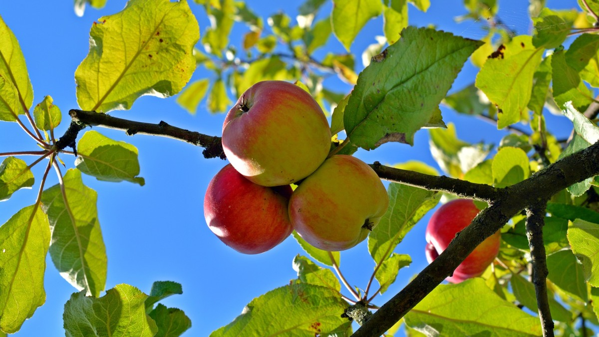 Apples are loaded with vitamins and nutrients!