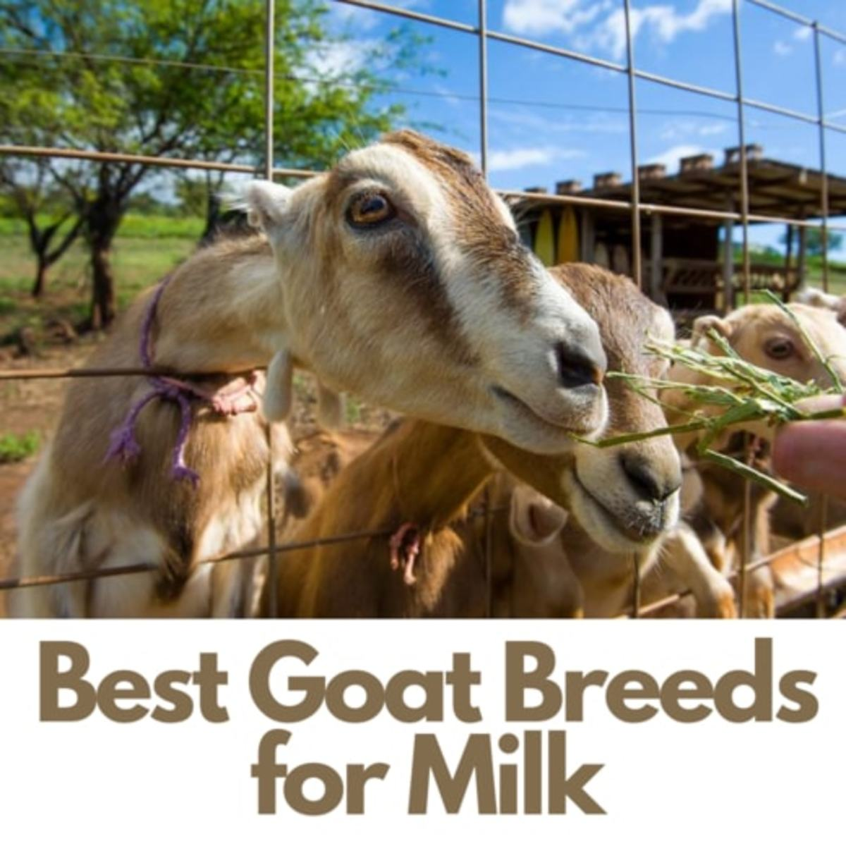 25 Best Dairy Goat Breeds - Goats for Milk