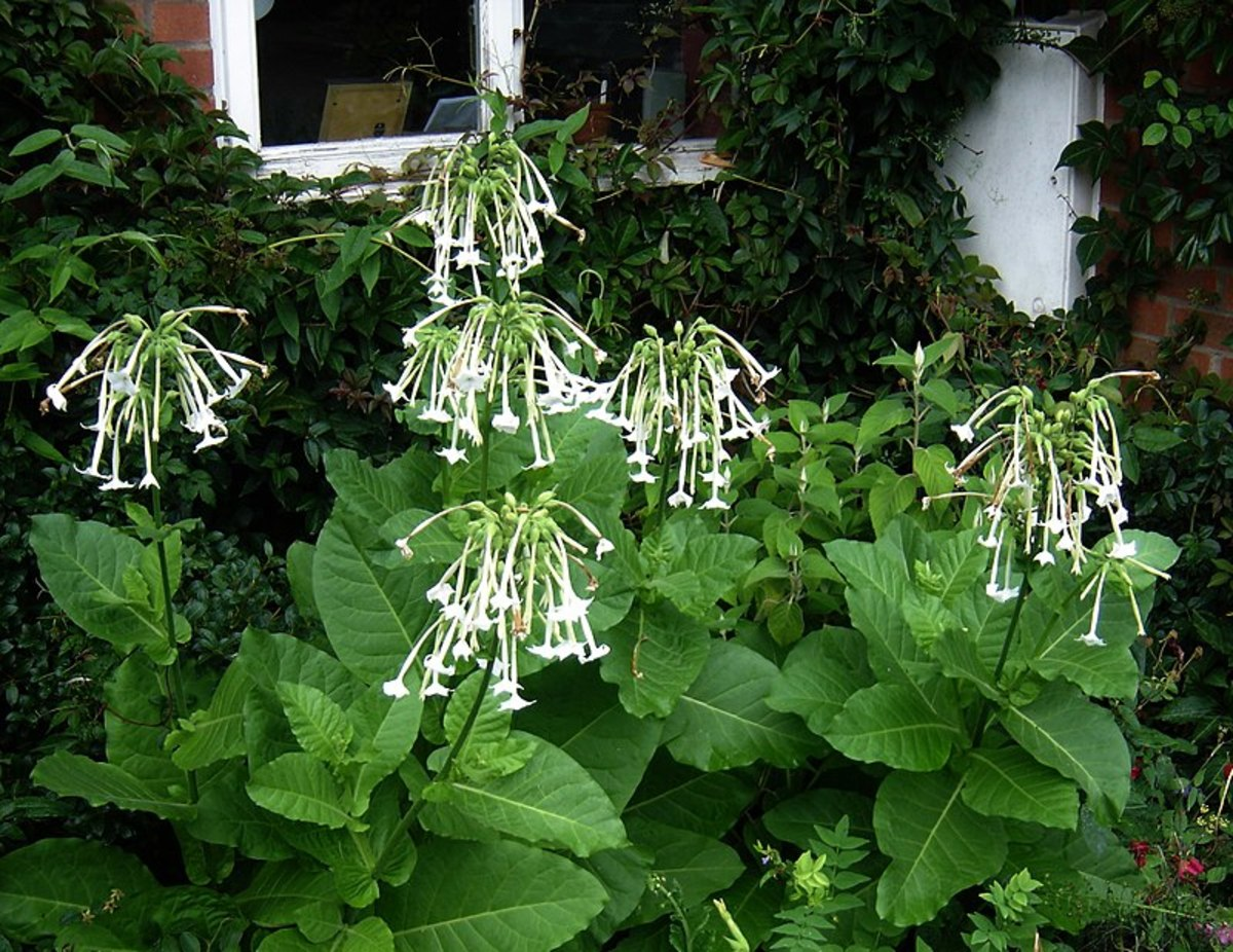 Nicotiana sylvestris, also known as woodland tobacco, is my favorite.  Its flowers look like fireworks.