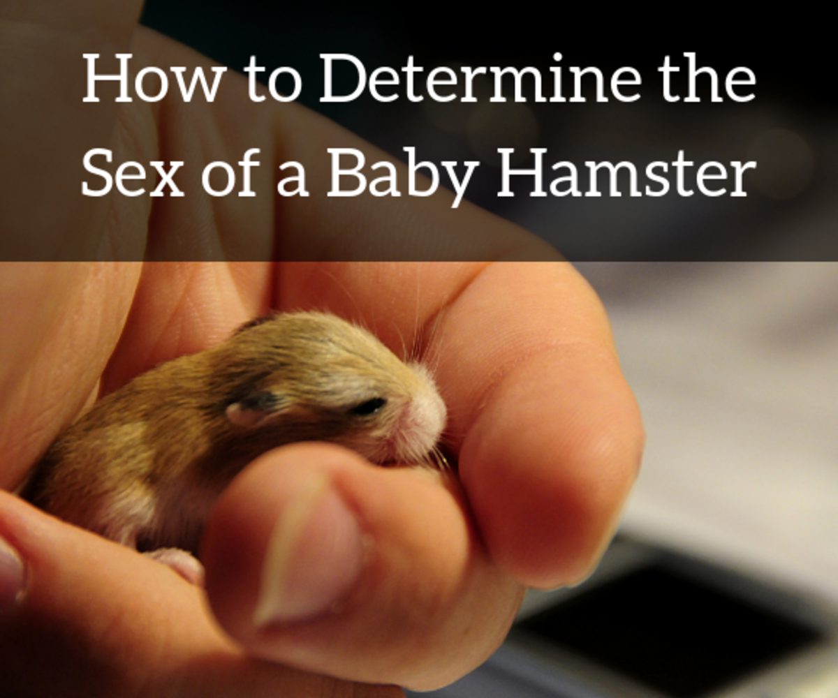 Female and male baby hamsters are extremely difficult to tell apart. Here are some tips on how to do it.