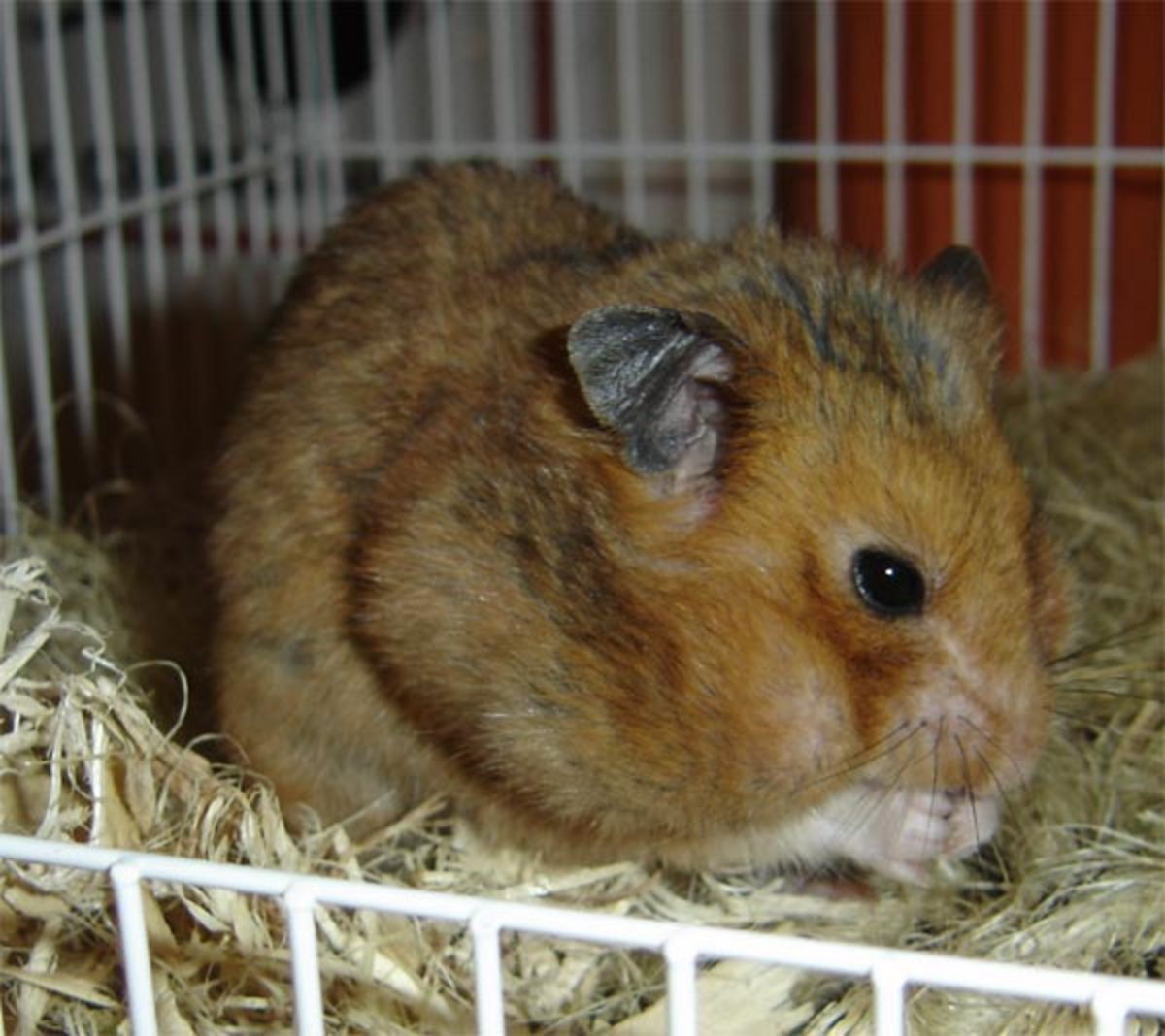 How to Care for Pet Hamsters: Behavior, Diet, and Housing