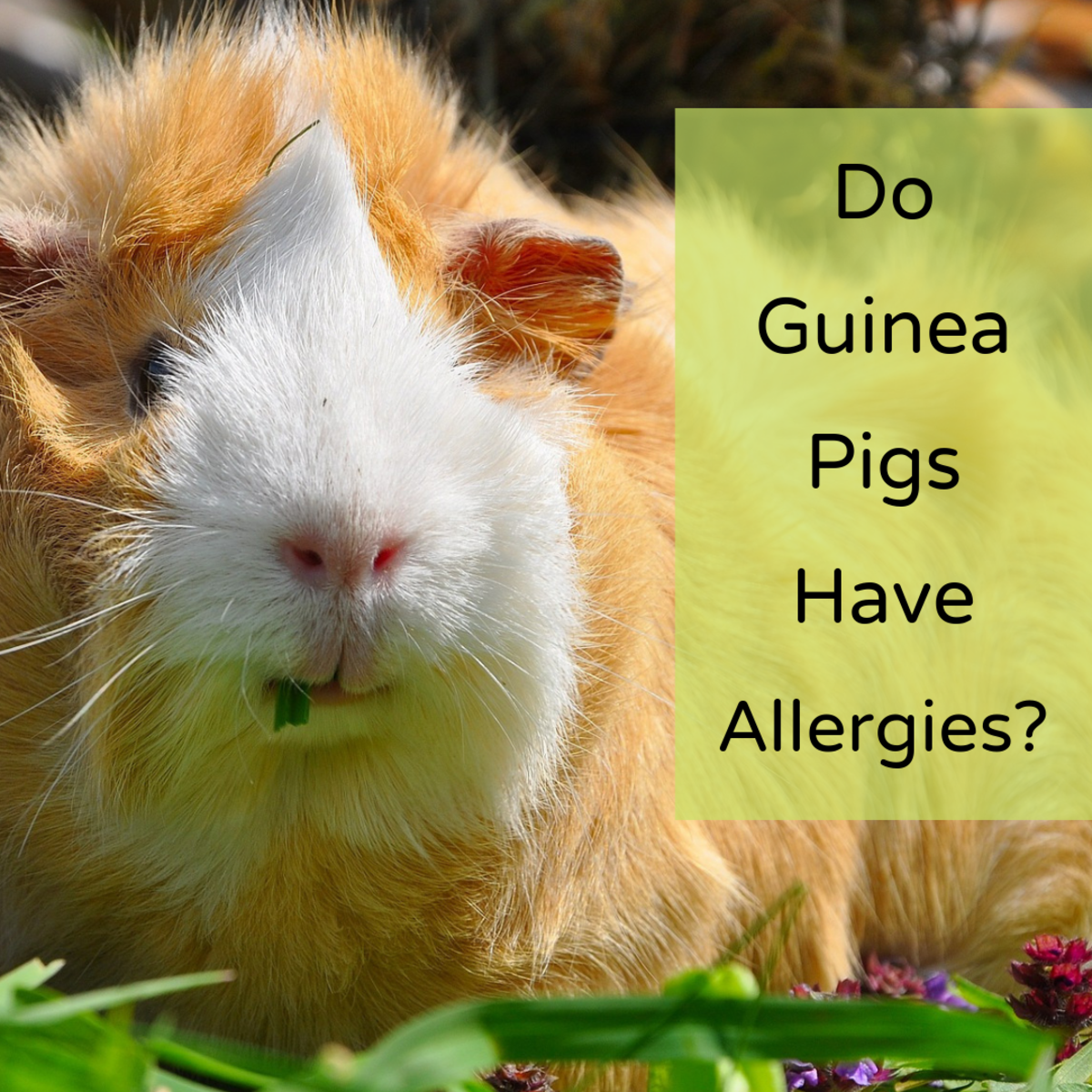 What Are Guinea Pigs Allergic To?