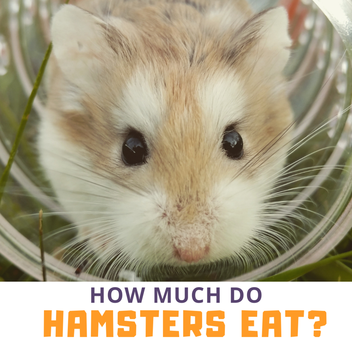 How Much Does a Hamster Need to Eat?