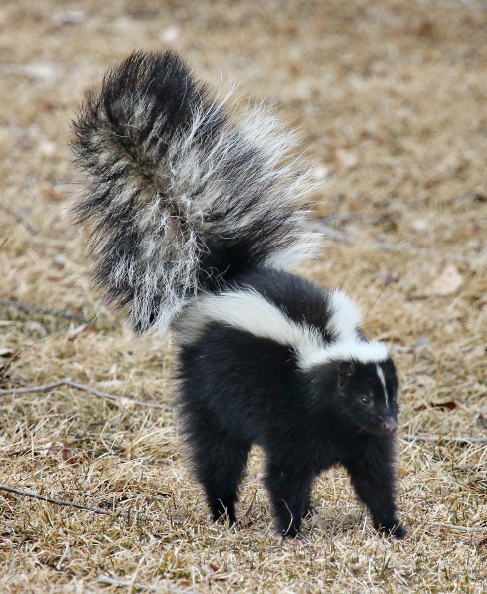Always be prepared for a skunk attack: He'll be there when you least expect it.