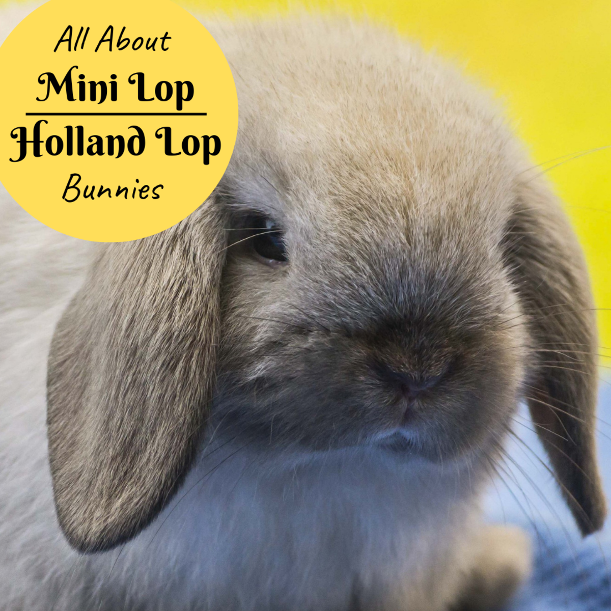 Bunny Breed And Size Guide Mini Lop Holland Lop Rabbits