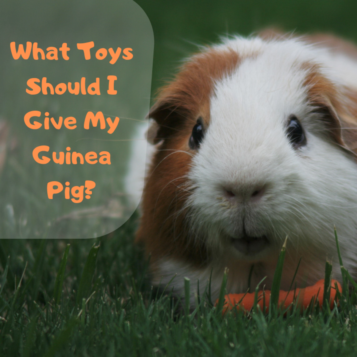 What Toys Can I Give My Guinea Pig?