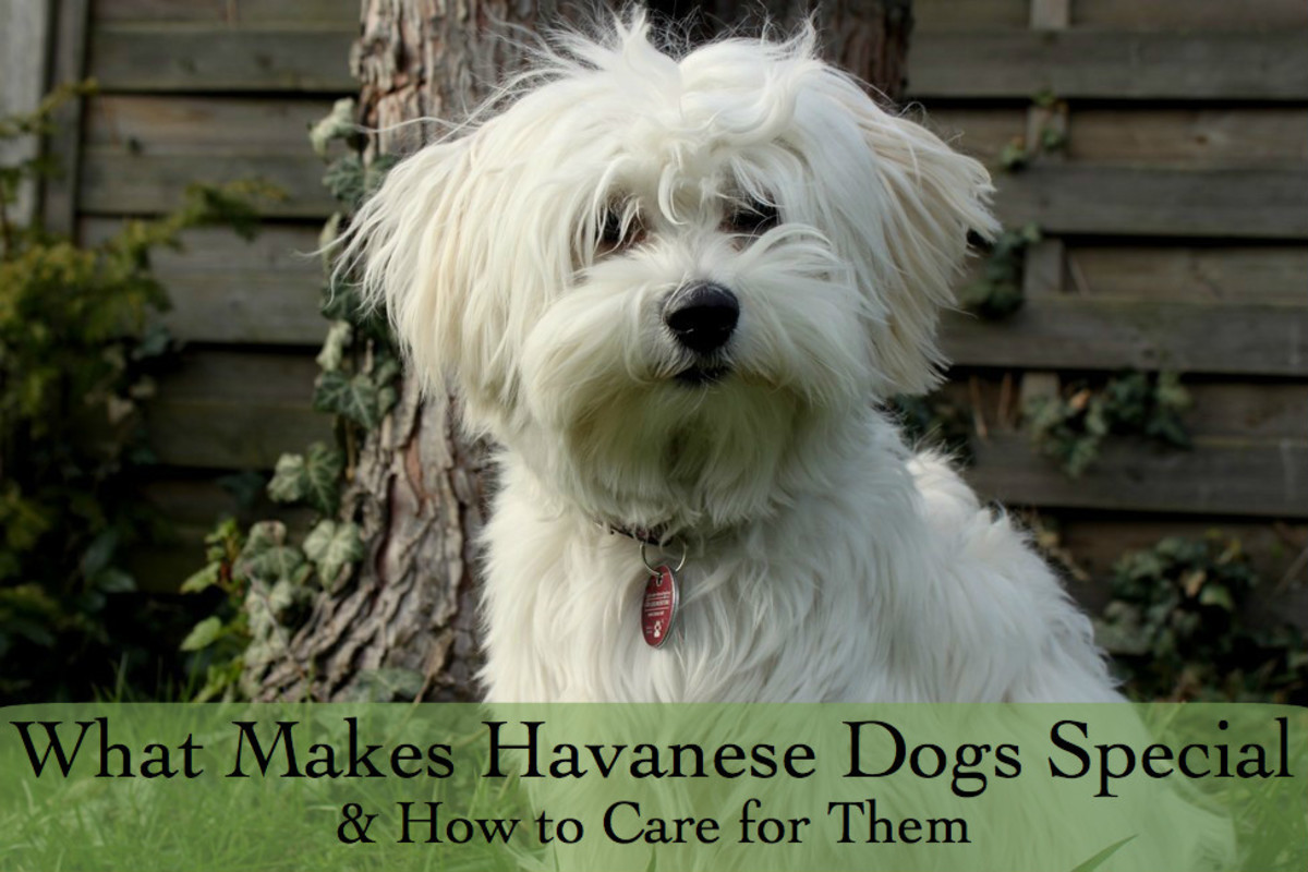 """A female Havanese with her long fur trimmed in a """"puppy cut."""""""