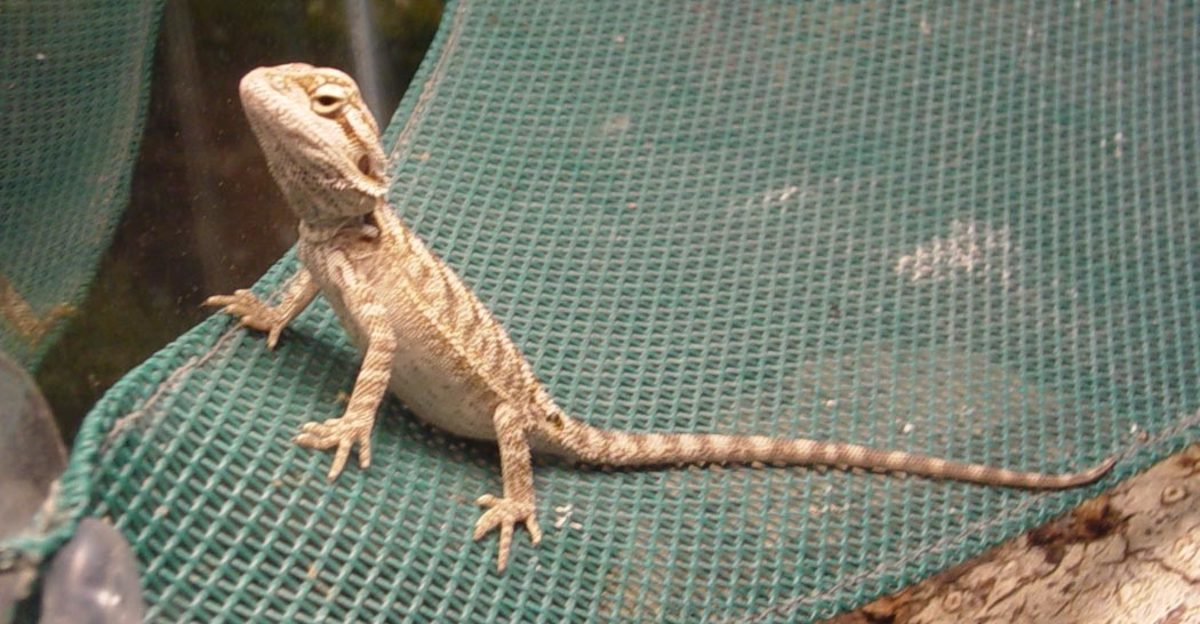 Metabolic Bone Disease in Pet Reptiles