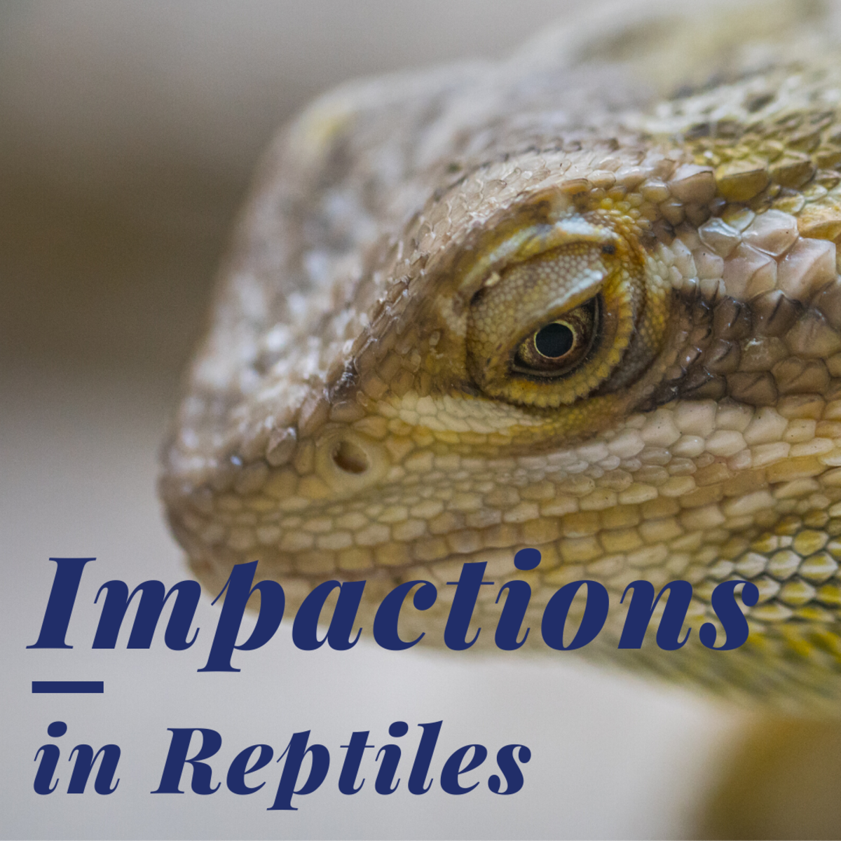 Know the Signs and Symptoms of an Impaction in a Reptile