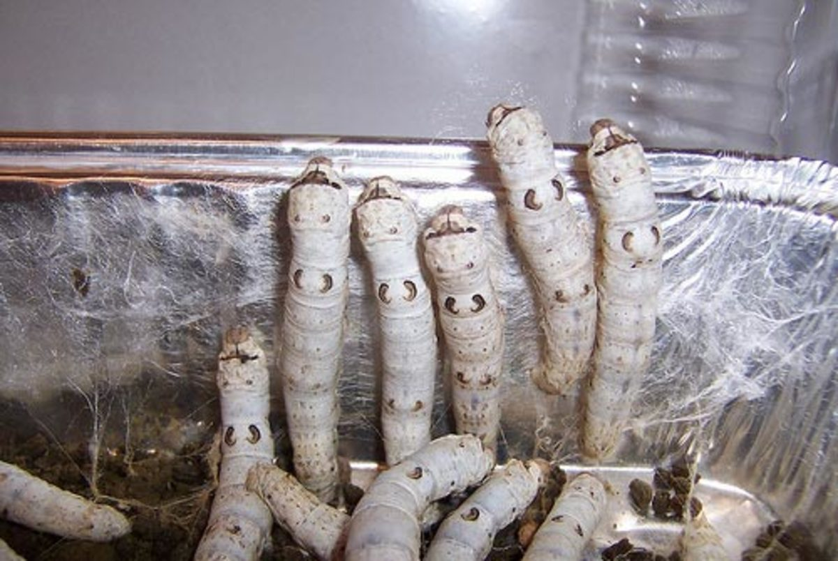 Breeding and Raising Silkworms