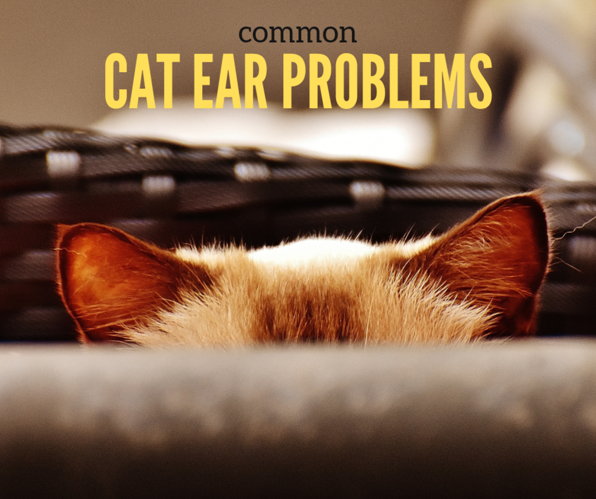 Cat Ear Problems