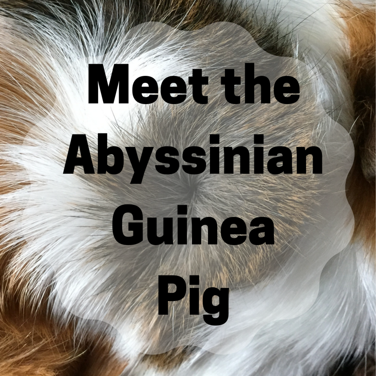 All About Abyssinian Guinea Pigs: Personality, History, and Care