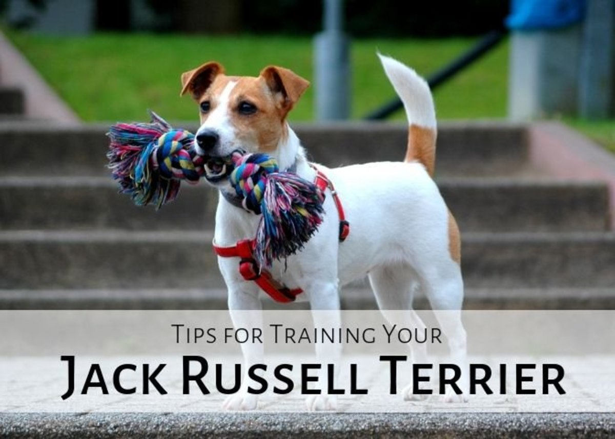JRTs are wonderful, fun-loving animals. Here are some tips to make sure you JRT is well-behaved.