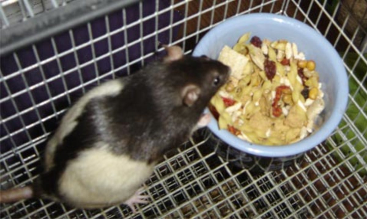 Homemade Rat Diet and Food