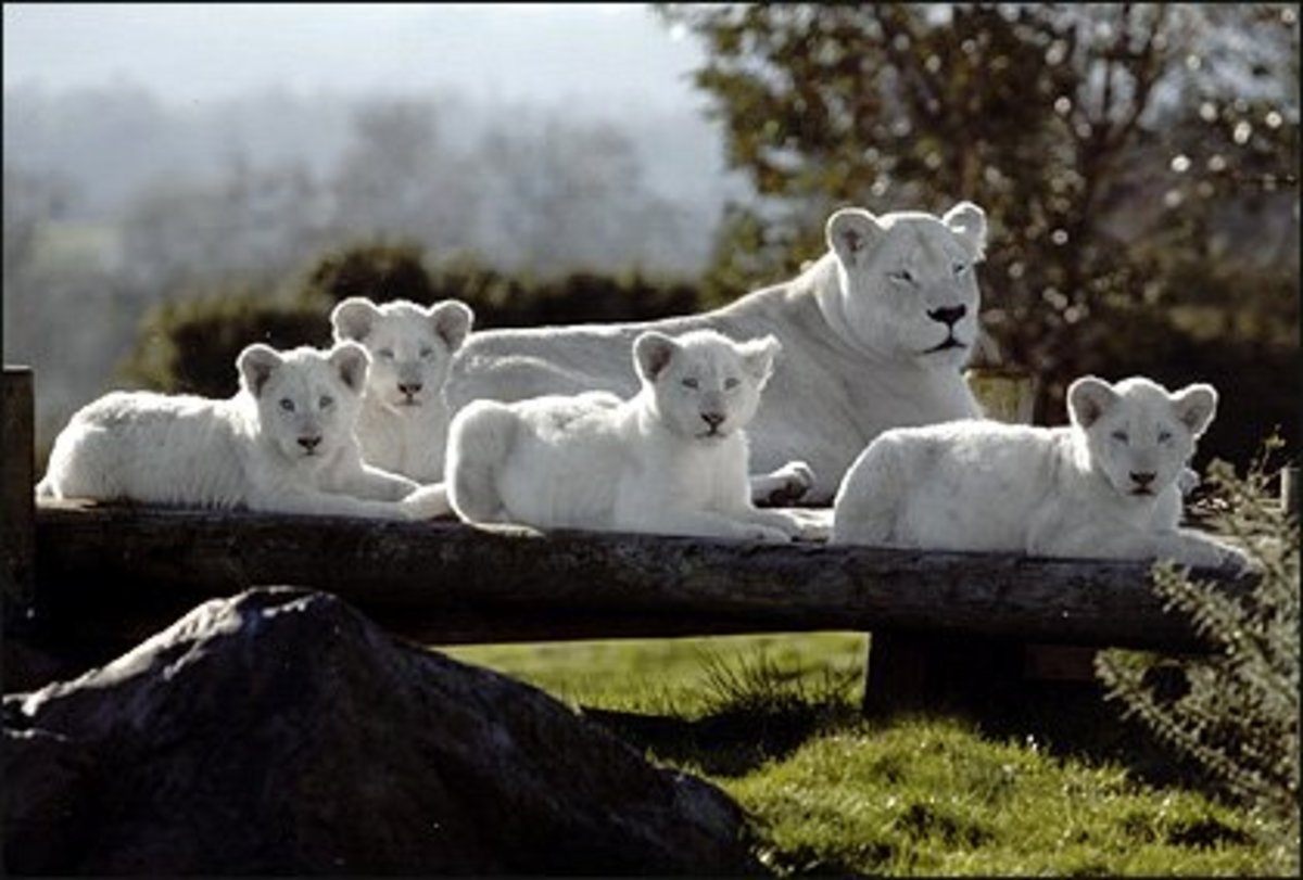 5 Interesting Genetic Anomalies in Wild Cats