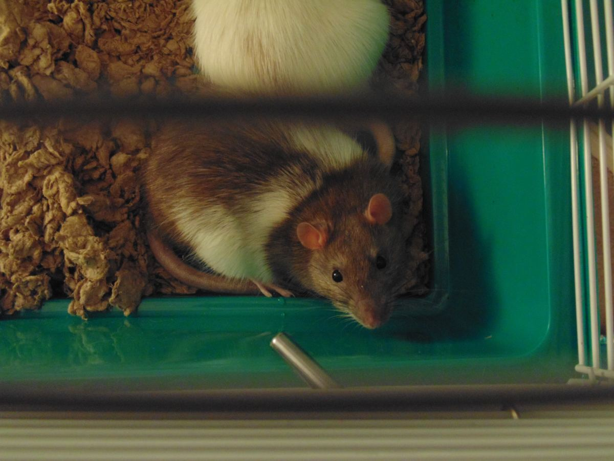 Pet Rats: Male or Female?
