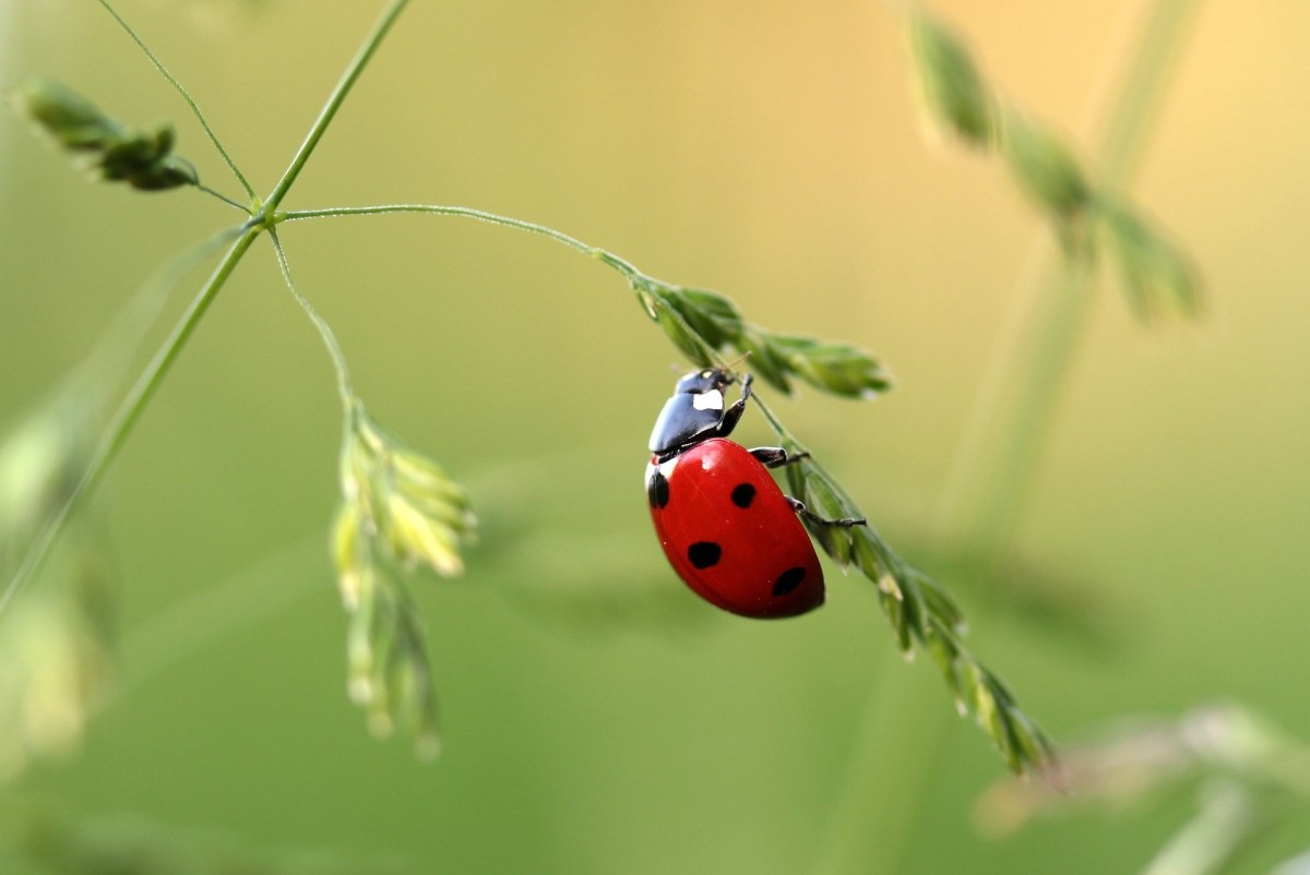 Ladybugs are called ladybirds in the United Kingdom and Australia.