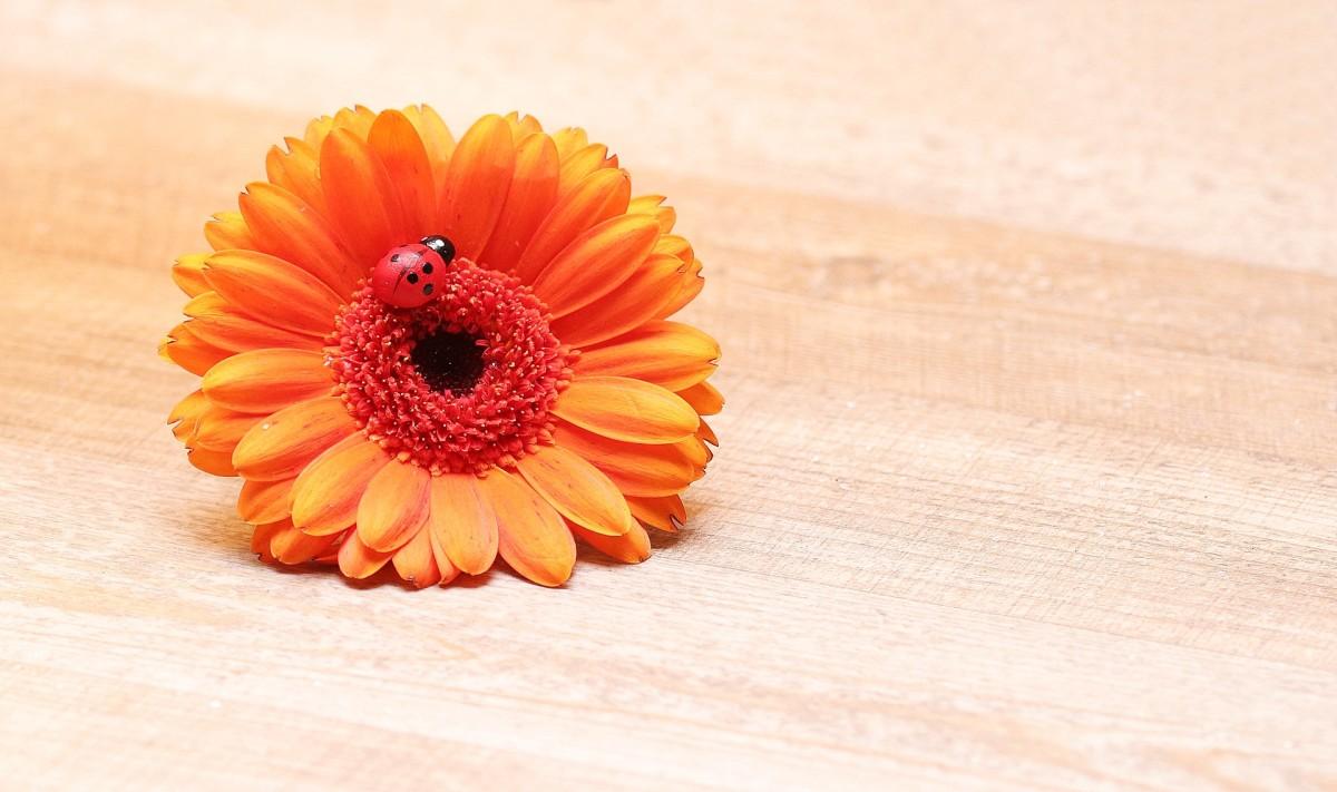 Ladybug crawling on orange flower