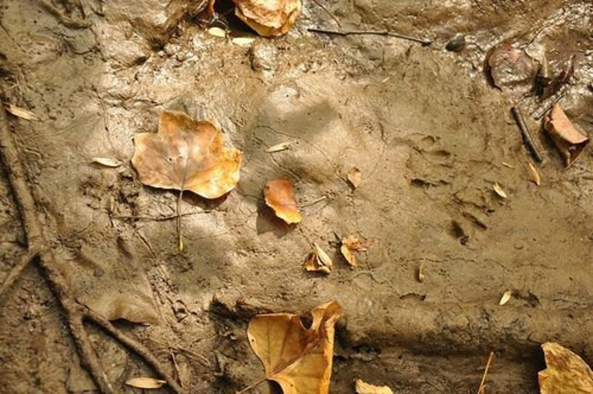 Leaves and Animal Tracks Along the Black River, Black River County Park, Hacklebarney State Park, Morris County, Hacklebarney, New Jersey.