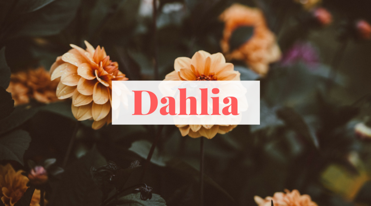 The Dahlia is a lovely flower that inspires an equally lovely name for your little one.