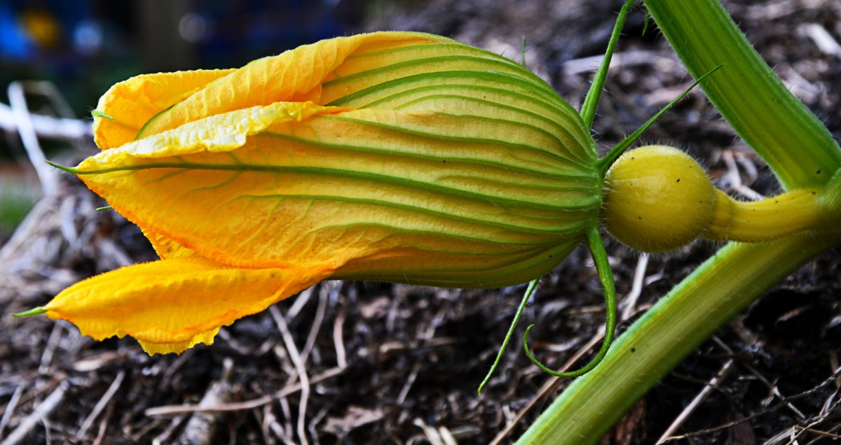 Pumpkin Time shows how a pumpkin grows from seeds in the garden into fully-ripe pumpkin gourds. A pumpkin blossom getting ready to bloom is shown here.