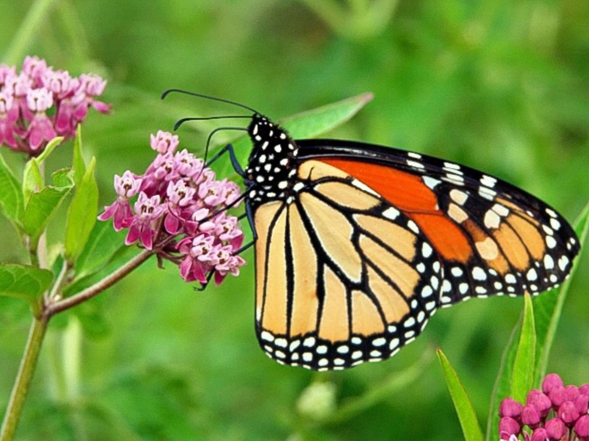 Gardens with lots of flowers are great places to see insects such as butterflies.