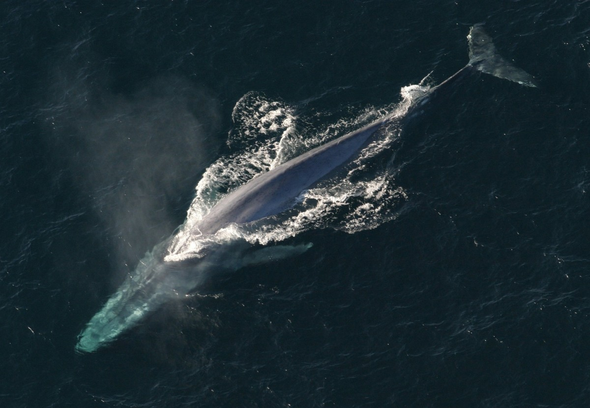The blue whale is the largest animal ever.
