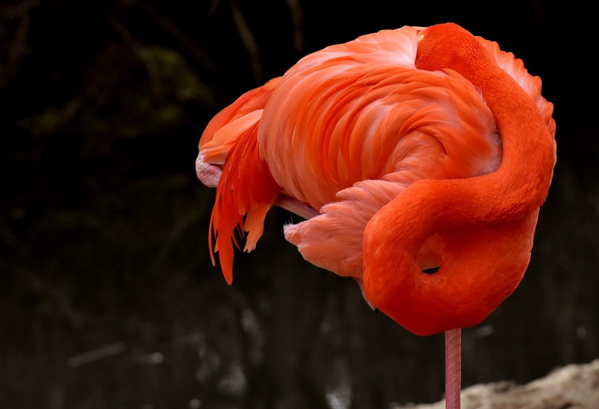 Flamingos can sleep standing up—like this!