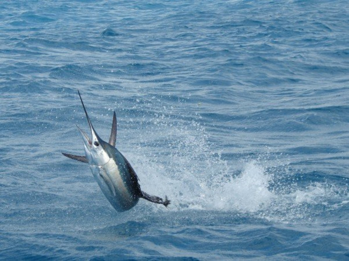 The sailfish is the fastest water animal and can move at a peak of 68 miles per hour.