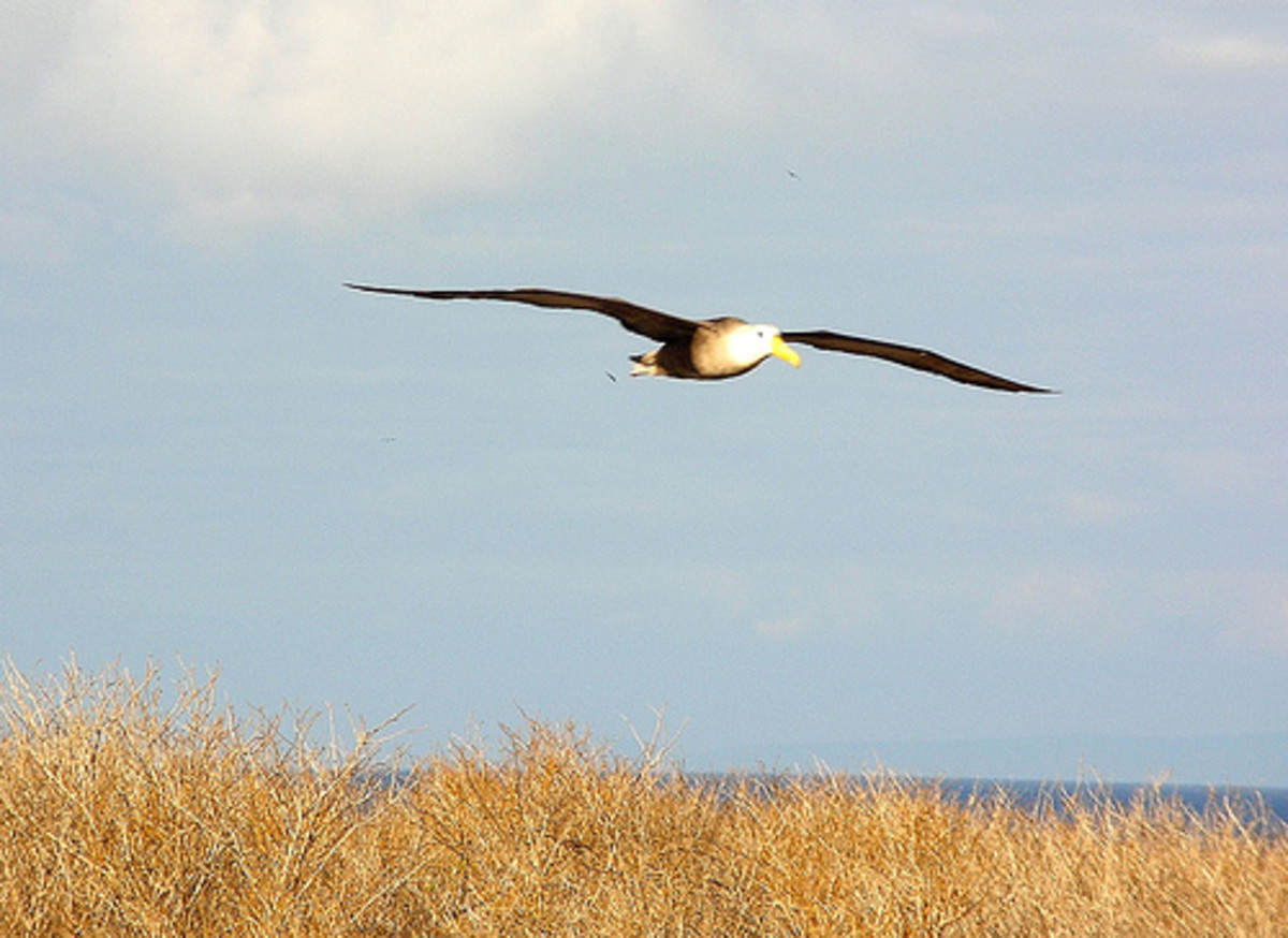 This is an albatross. The wandering albatross has the largest wingspan of any existing bird—up to 11.5 feet.