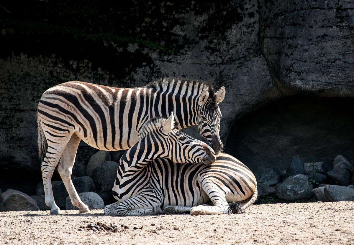 Zebras are actually black with white stripes!