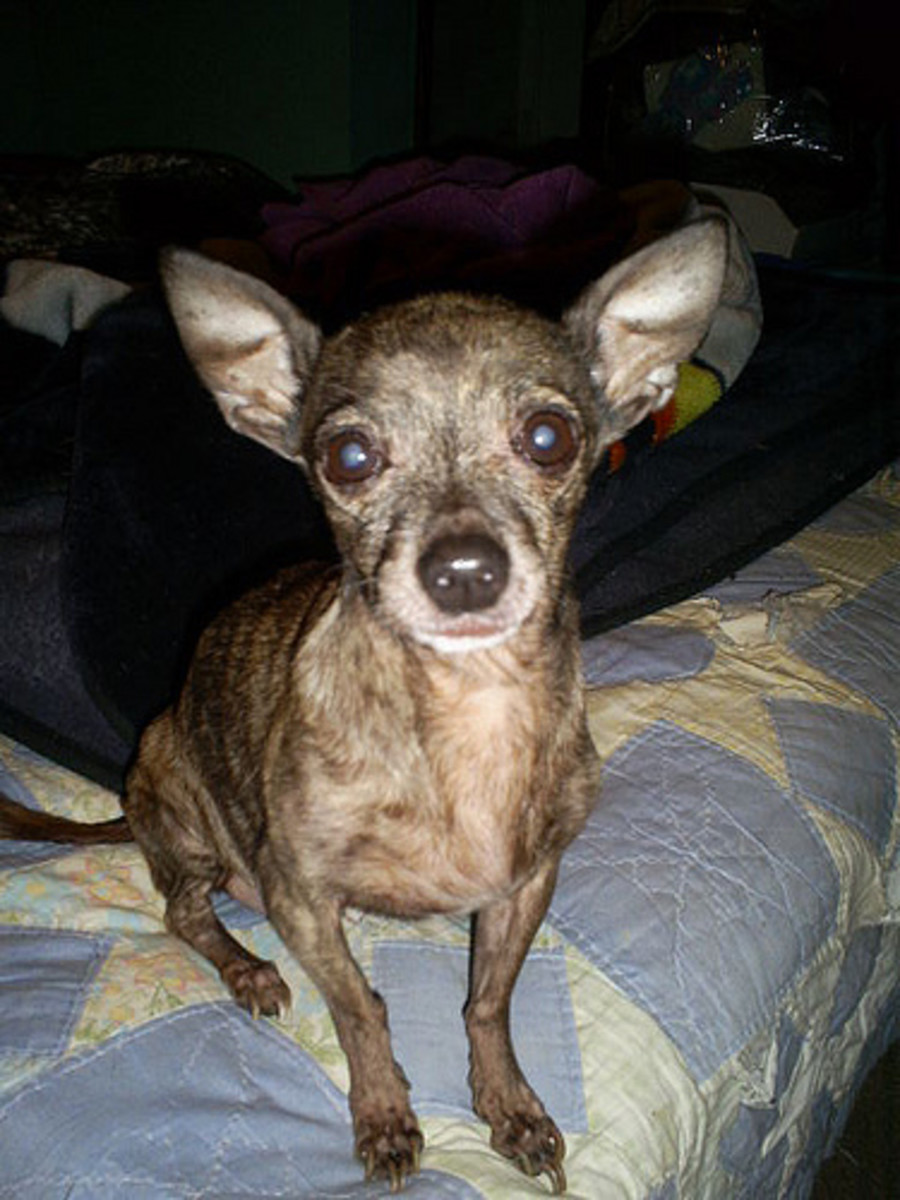 Chihuahuas are the smallest dog breed, and they're generally under 6 pounds in weight.