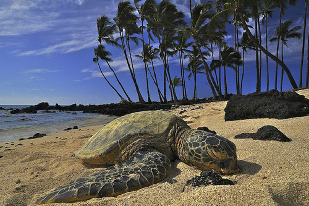 Green Sea Turtles call Hawaii their home!  You can see many of them on our beautiful beaches, but do not touch them as they are an endangered species.
