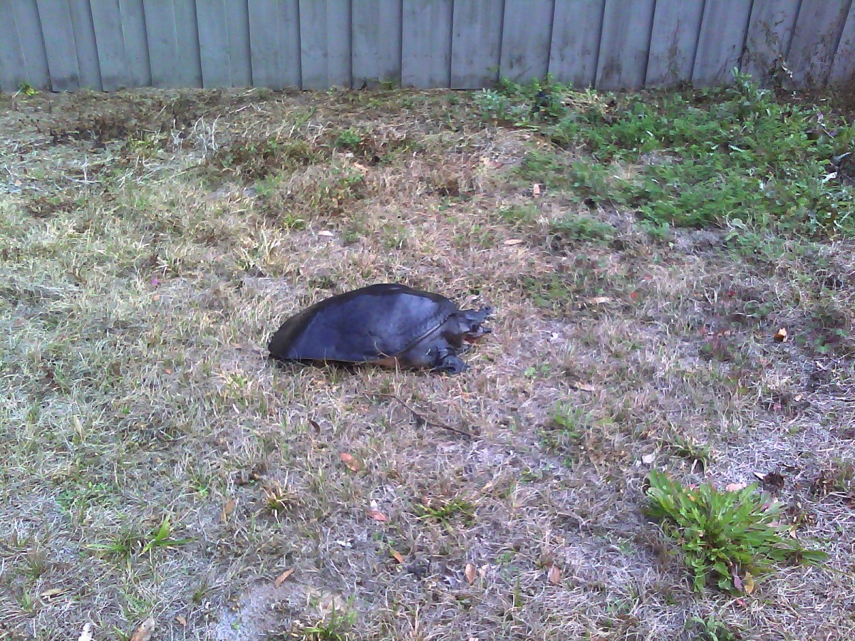 Soft-shelled turtles are indigenous to Florida. This little guy provided a lesson on Florida's wildlife, in our own backyard!