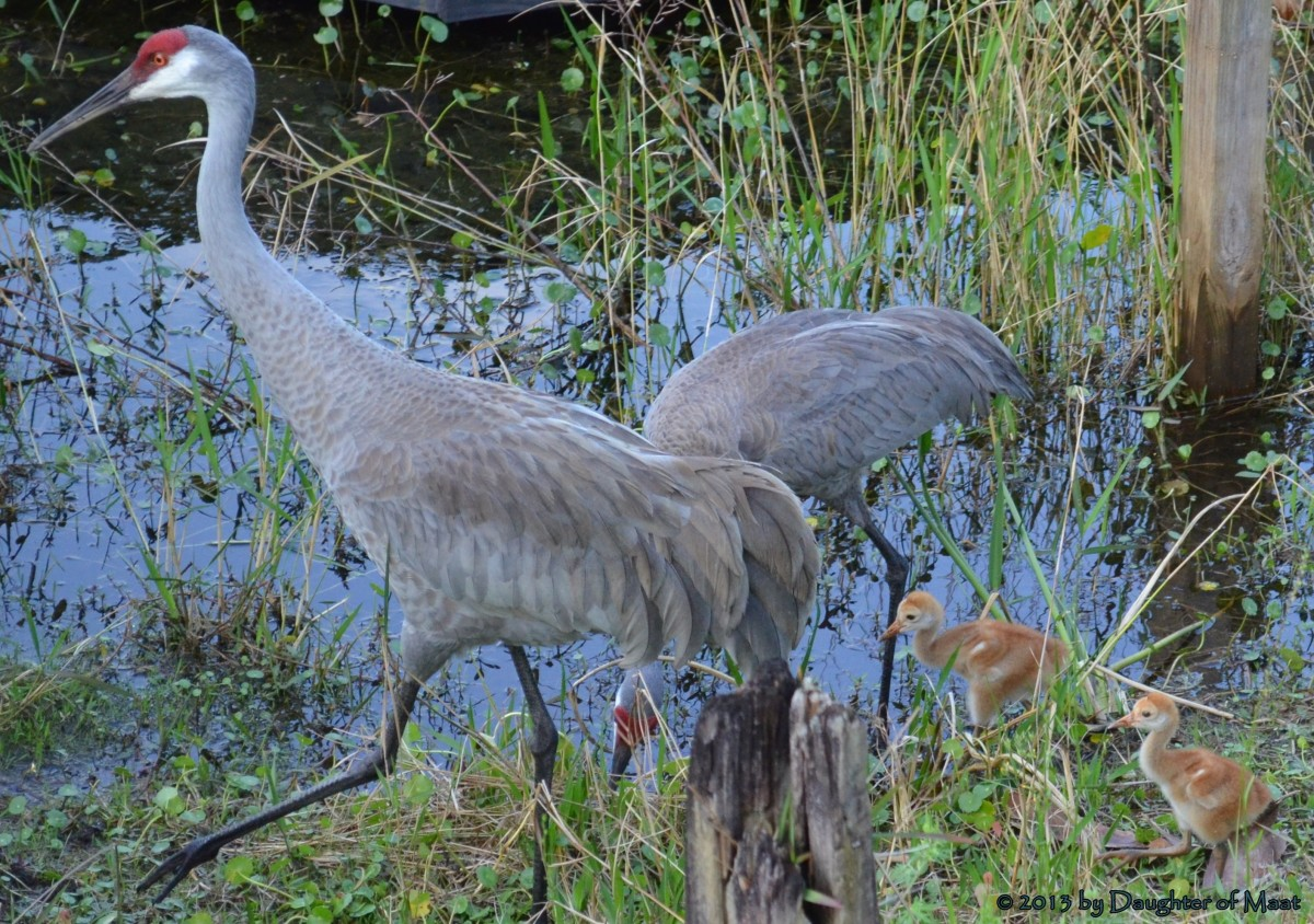 Sand hill cranes in our backyard make excellent science lessons, they helped facilitate a discussion on conserving nature as well.