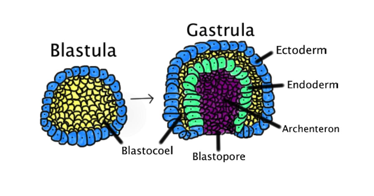 When the blastula folds inward, the gastrula is formed. Unlike the single-layered blastula, the gastrula contains three distinct layers.