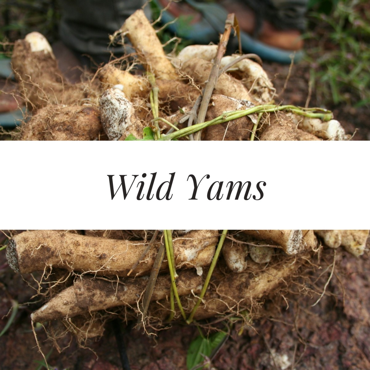 The Yoruba tribe, who eat wild yams on a daily basis, have abnormally high twin birth rates.