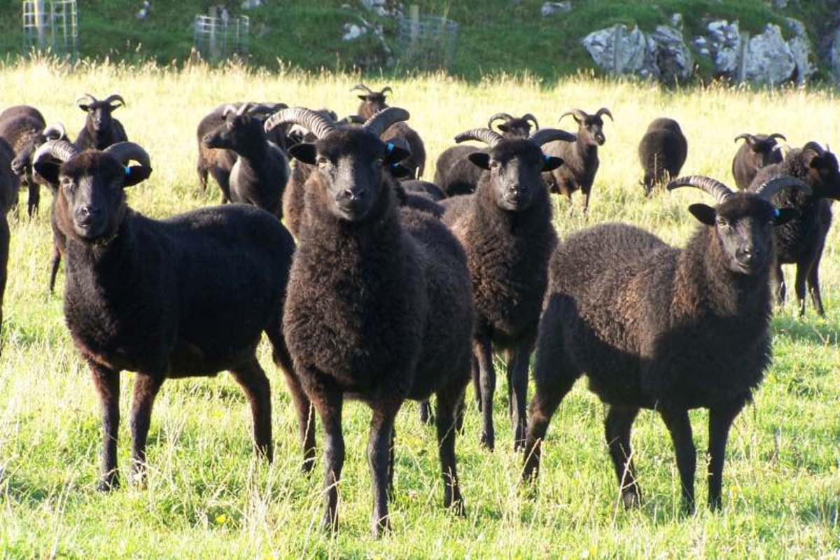 Sometimes there are entire families of black sheep.  Whoa!  Just imagine!