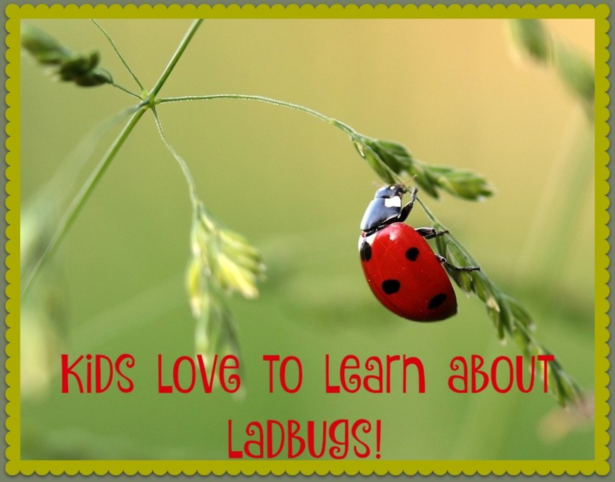 During the summer months, you can purchase a container of live ladybugs at your local gardening center. Then you can release them in your yard, study their anatomy, watch them fly, and see them munch on aphids.