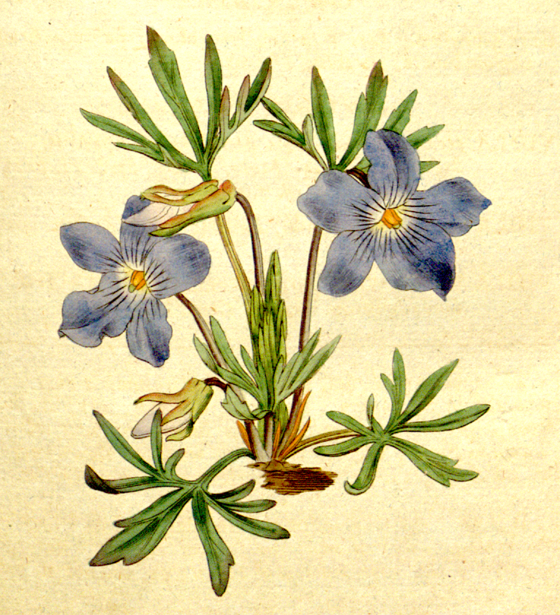 Botanical illustration of a viola
