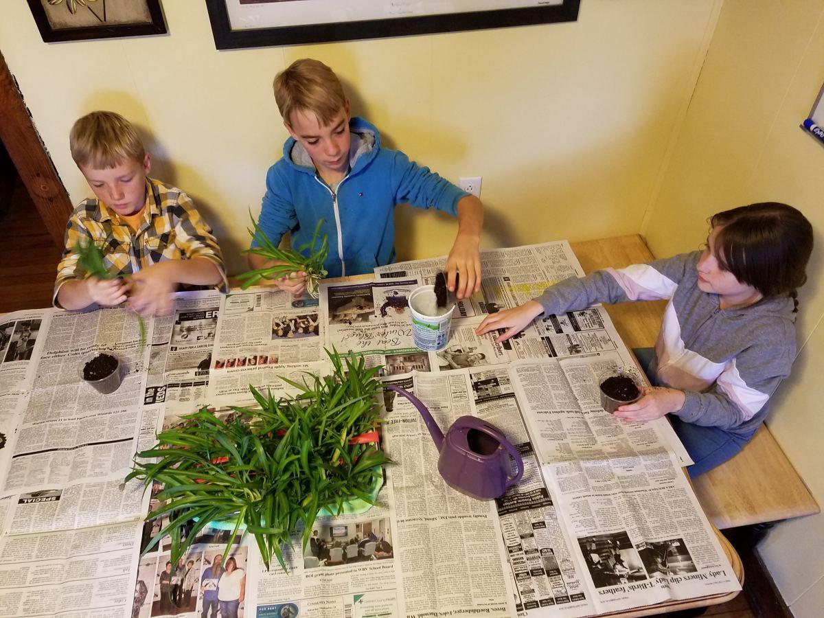 Potting spider plant babies.