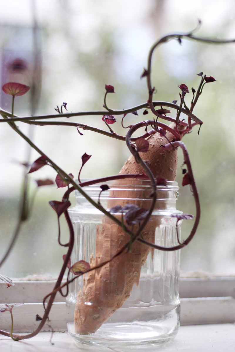Break the vines off a sweet potato and root them in water.