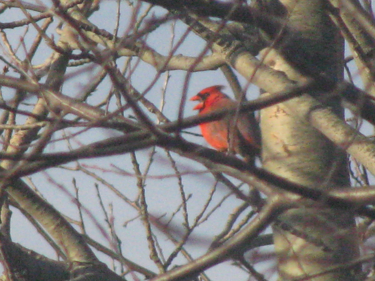A cardinal rests in the tree. They are pretty common around here.