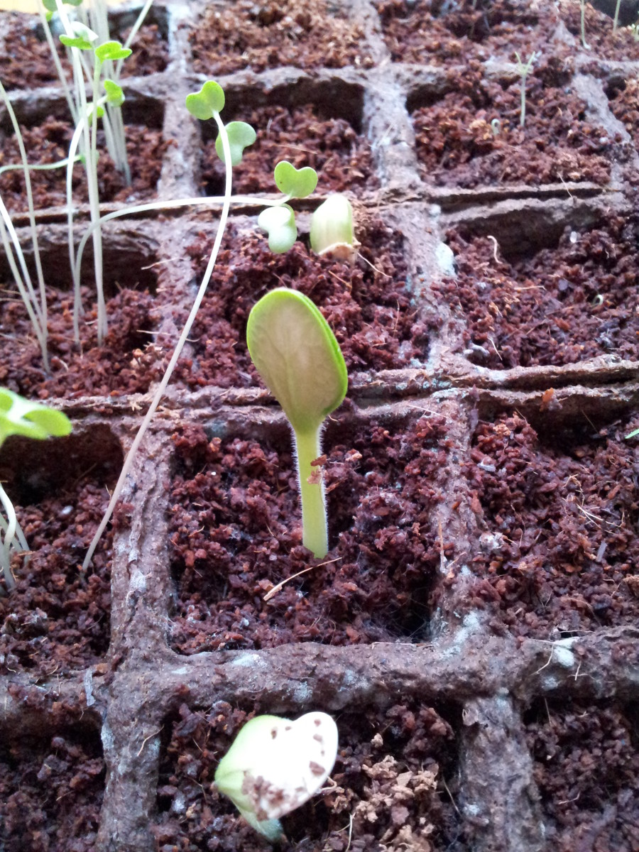 The zucchini seedling emerges from the soil.